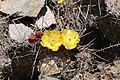 Jardin Botanico de Altura - Opuntia ficus-indica 01.jpg