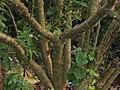 Jatropha curcas 07.jpg