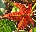 Jatropha hybrid - Young leaf (84 DAS) (4595498522).jpg