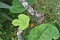 Jatropha podagrica 30zz.jpg
