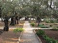 Jerusalem, Gethsemane Garden olives.JPG