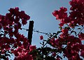 Jerusalem - Fleurs & barbelés - Flowers and barbed wire - Photo image picture (12858900065).jpg