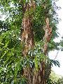 Jf9408Pterocarpus indicus Lubaofvf 17.JPG