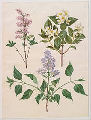Syringa x persica; Philadelphus coronarius; Syringa vulgaris