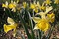 Jonquille-narcissus pseudonarcissus-02.jpg