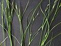 Juncus bufonius inflorescence (22).jpg