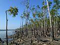 Jungle Walking Mangrove Forest Katka Sundarban National Park Bangladesh - panoramio (1).jpg
