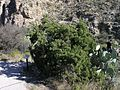 Juniper in Carlsbad Caverns National Park.JPG