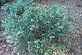 Juniperus chinensis 'Expansa Aureospicata' kz01.jpg