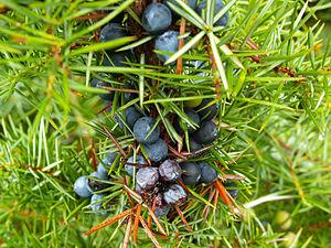 Juniperus communis Stara Planina.jpg