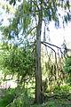 Juniperus rigida - Morris Arboretum - DSC00472.JPG