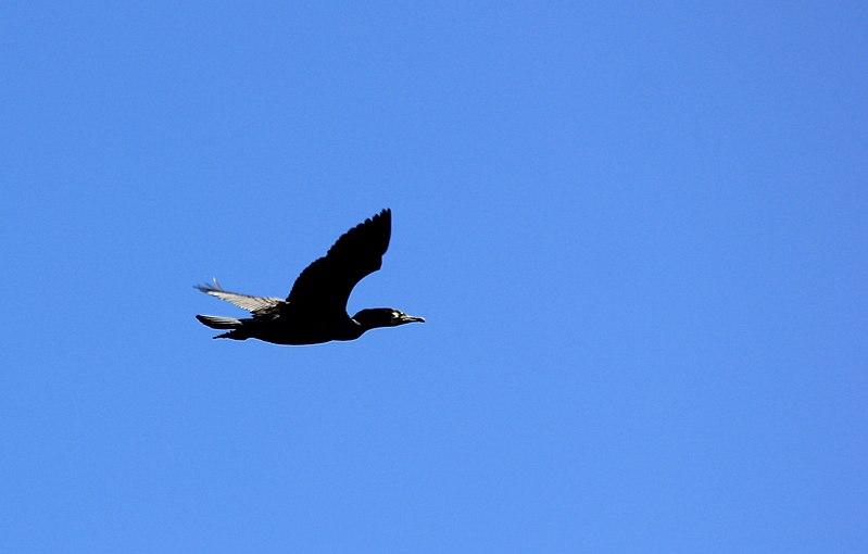 File:Juodkrante kolonia kormoranow 6.jpg
