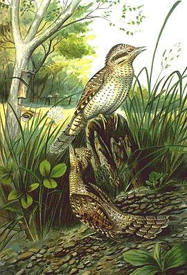 Wendehals (Jynx torquilla)