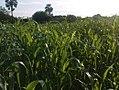 K.Pudur Village Corn plants.jpg