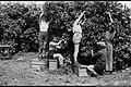 KFAR SABA RESIDENTS PICKING CITRUS FRUIT DURING HARVEST SEASON. קטיף פרי הדר, בפרדס המושבה כפר סבא.D574-097.jpg