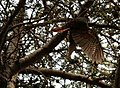 Kaka hanging in tree using wings to balance.jpg