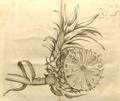 Kapa-tsjakka 11-2 Rheede 1692.png