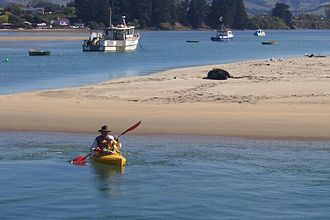 New Zealand sea lion - With kayakers in Karitane Harbour