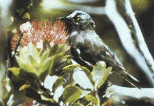 Kauaʻi ʻōʻō - The last Kauaʻi ʻōʻō was male, and his song was recorded for the Cornell Lab of Ornithology. The male was recorded singing a mating call, to a female that would never come. He died in 1987.