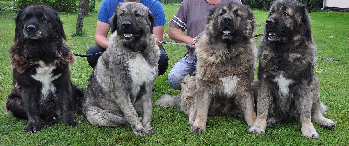 Kavkazský pastevecký pes – Wikipedie d71388ba4d