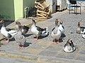 Kazlar - geese - Gänse 2 - panoramio.jpg