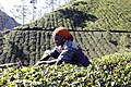 Kerala tea picker.jpg