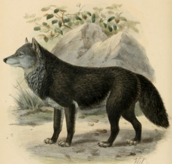 English: Engraving of a black wolf by J. G. Ke...