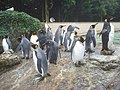 King Penguins at Birdland - geograph.org.uk - 1135582.jpg