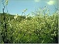 Kirschblüte - panoramio (16).jpg