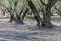 Korfu (GR), Agii Douli, Olivenhain -- 2018 -- 1261.jpg