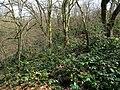 Korina 2013-03-18 Mahonia aquifolium 7.jpg
