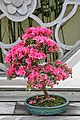 Kurume Azalea (Rhododendron) Kumiko (3562944961).jpg