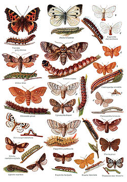 Papillons et chenillesde lépidoptères (Leipzig, 1932)