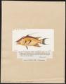 Lachnolaimus falcatus - 1817-1841 - Print - Iconographia Zoologica - Special Collections University of Amsterdam - UBA01 IZ13900225.tif