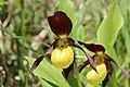 Lady's-Slipper Orchid - Cypripedium calceolus (14041481367).jpg
