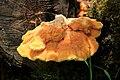 Laetiporus sulphureus Jaroměř 2015 2.jpg
