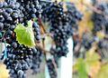 Lagrein grape clusters at Gisborne Peak.jpg