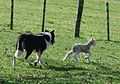 Lamb and sheep dog at work, New Zealand.jpg