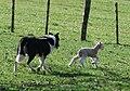 Lamb and sheep dog at work, New Zealand.jpg
