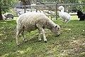 Lambert sheep.jpg