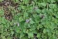 Lamium maculatum in Jardin Botanique de l'Aubrac 02.jpg