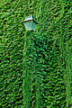 Lamp post with ivy in Trastevere.JPG