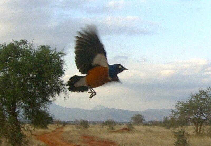 File:Lamprotornis superbus Taita Hills Kenia.JPG