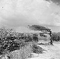 Landschap met een watapana- of divi-divi-boom op Curaçao, Bestanddeelnr 252-7375.jpg