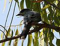 Large Cuckooshrike (Coracina macei) W IMG 4391.jpg