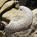 Large ammonite fossil, Southwell Landslip - geograph.org.uk - 1029221.jpg