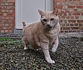 Larry the cat playing with a wool string and making a twisted face on gravel in Auderghem, Belgium (DSCF2313).jpg