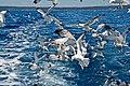 Larus michahellis, Island of Pag, Croatia.jpg