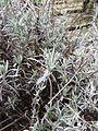 Lavandula angustifolia 02.JPG
