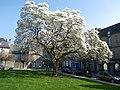 Le magnolia a dinan - panoramio.jpg